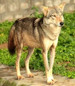 260px-Canis_lupus_pallipes_Mysore_Zoo_1